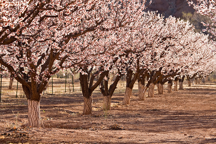Blooming fruit trees at Lonely Dell near Lee's Ferry