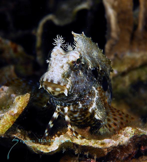 Ceram Blenny, Salarias ceramensis, Lembeh Straits; Sulawesi Sea; Indonesia; Amazing Underwater Photography