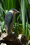 Black-crowned Night Heron, Sepulveda Wildlife Refuge, Southern California