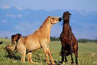 Two wild horse stallions show aggressive behavior.  Western U.S..(Equus caballus)
