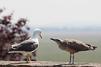 Heringsmöwe, Altvogel mit Küken, Jungvogel, Herings-Möwe, Heringsmöve, Möwe, Larus fuscus, Lesser Black-backed Gull, Goéland brun