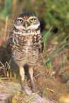 Burrowing Owl, Cape Coral, Florida, USA