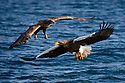 Japan, Hokkaido, Steller's sea eagle and white-tailed eagle flying over ocean
