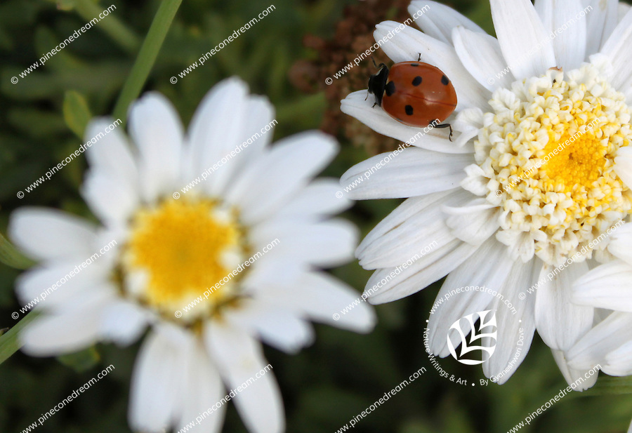 """Stock photo of cute beautiful ladybug sitting on the petals of a white daisy flower.<br /> <br /> This image is also available in monochrome. View the gallery-""""Black & White Fine Art""""."""