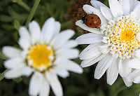 Stock photo of cute beautiful ladybug sitting on the petals of a white daisy flower.<br />
