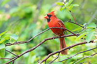 01530-23015 Northern Cardinal (Cardinalis cardinalis) male in Serviceberry (Amelanchier canadensis) Marion Co. IL