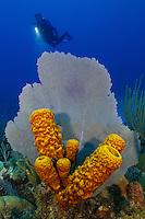 TR5753-Dm. scuba diver (model released) swims behind Common Sea Fan (Gorgonia ventalina) and Yellow Tube Sponge (Aplysina fistularis). Cayman Islands, Caribbean Sea.<br /> Photo Copyright &copy; Brandon Cole. All rights reserved worldwide.  www.brandoncole.com