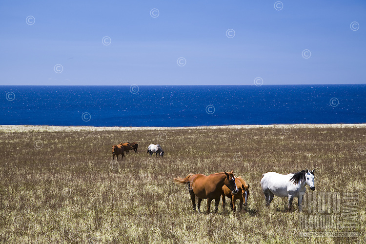Horses on a pasture in South Point, Big Island of Hawaii