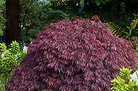 Purple leaf foliage Japanese maple tree- Acer palmatum 'Dissectum Garnet' in San Francisco Botanical Garden