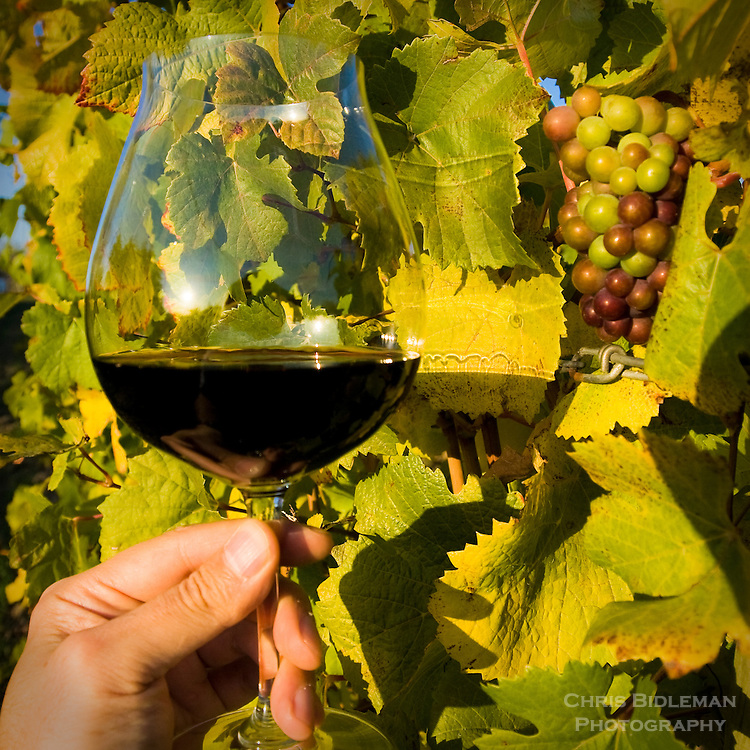 Pinot Noir Wine glass held up by hand to fall colored grapevine with cluster of grapes creates nice background.