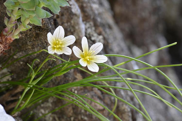Snowdon Lily - Gagea serotina