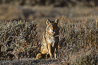 Coyote (Canis latrans) sitting in sage.
