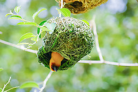 Ruppell's weaver, Ploceus galbula, male, building nest, Djibouti, Horn of Africa