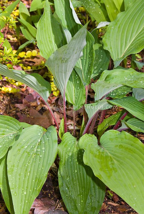 Hosta 'Red October' with red stems, petioles, perennial shade foliage plant