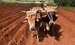 A Cuban  farmer with his oxen  planting a field of yucca at the base of the mountains near Vinales, Cuba