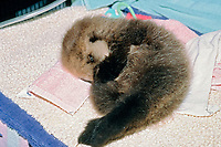 orphaned California southern sea otter pup, Enhydra lutris nereis, endangered species, found on the beach, the SORAC program pledges to care for all orphaned southern sea otters, Monterey Bay Aquarium, California c
