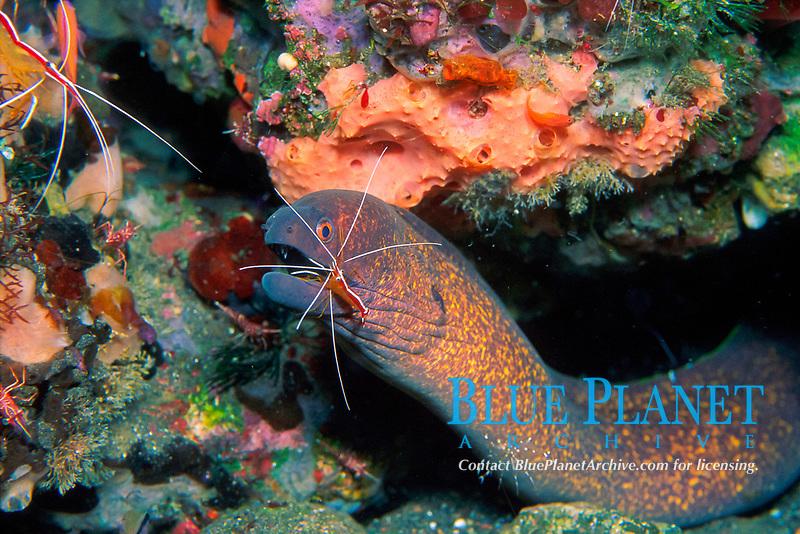 cleaner shrimp, Lysmata amboinensis, attending moray eel, Gymnothorax flavimarginatus, Indonesia, Pacific Ocean