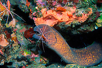 cleaner shrimp, Lysmata amboinensis, attending moray eel, Gymnothorax flavimarginatus, Indonesia, Pacific Ocean