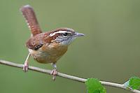 Carolina Wren - Thryothorus ludovicianus
