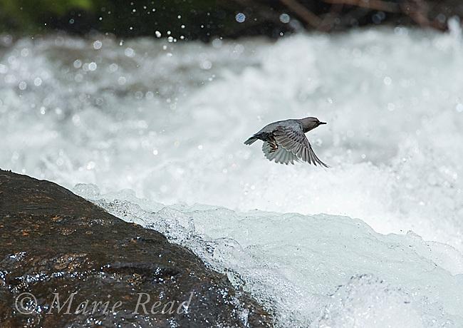 American Dipper (Cinclus mexicanus), taking flight over a raging creek, Lee Vining Creek, Mono Lake Basin, California, USA