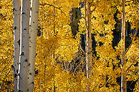 Boulder Mountain, Dixie National Forest, Utah: Aspen grove illuminated by sun in autumn
