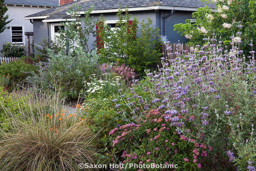 Urban front yard with California native plants, perennials and grasses -  Salvia clevelandii (Cleveland sage), Muhlenbergia, Heath-Delaney garden