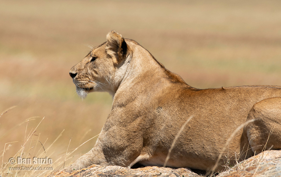 A female Lion, Panthera leo  melanochaita, in Serengeti National Park, Tanzania