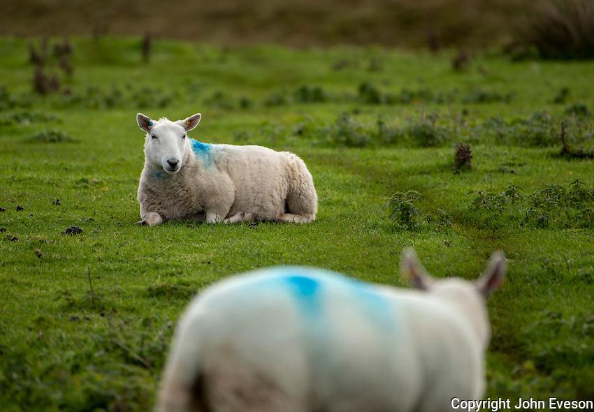 Cheviot ewes near Lancaster, Lancashire.