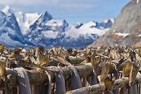 Cod stockfish hanginig on wooden drying racks, Lofoten Islands, Norway