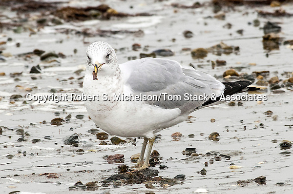 Ring-billed Gull eating part of a clam while over-wintering in Hingham, Massachusetts