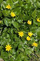Scharbockskraut, Scharbocks-Kraut, Scharbockkraut,  Frühlings-Scharbockkraut, Scharbock-Kraut, Ranunculus ficaria, Ficaria verna, Lesser celandine, pilewort, Ficaire, Frühjahrsblüher