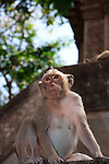 Temple Macaque at Phnom Sampon, Cambodia