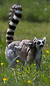 16/05/16<br /> <br /> &quot;I want you to climb up that tree...&quot;<br /> <br /> Three baby ring-tail lemurs began climbing lessons for the first time today. The four-week-old babies, born days apart from one another, were reluctant to leave their mothers&rsquo; backs to start with but after encouragement from their doting parents they were soon scaling rocks and trees in their enclosure. One of the youngsters even swung from a branch one-handed, at Peak Wildlife Park in the Staffordshire Peak District. The lesson was brief and the adorable babies soon returned to their mums for snacks and cuddles in the sunshine.<br /> All Rights Reserved F Stop Press Ltd +44 (0)1335 418365