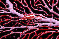 Arrowhead crab, Xenocarcinus conicus. It's color provides camouflage, perfectly matching the sea fan on which it lives . Fiji, Indo-Pacific
