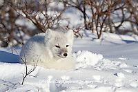 01863-01111 Arctic Fox (Alopex lagopus) in snow in winter, Churchill Wildlife Management Area, Churchill, MB Canada