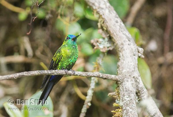Sapphire-vented puffleg, Eriocnemis luciani. Yanacocha Reserve, Ecuador