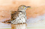 Long-Billed thrasher taking a bird bath in a puddle