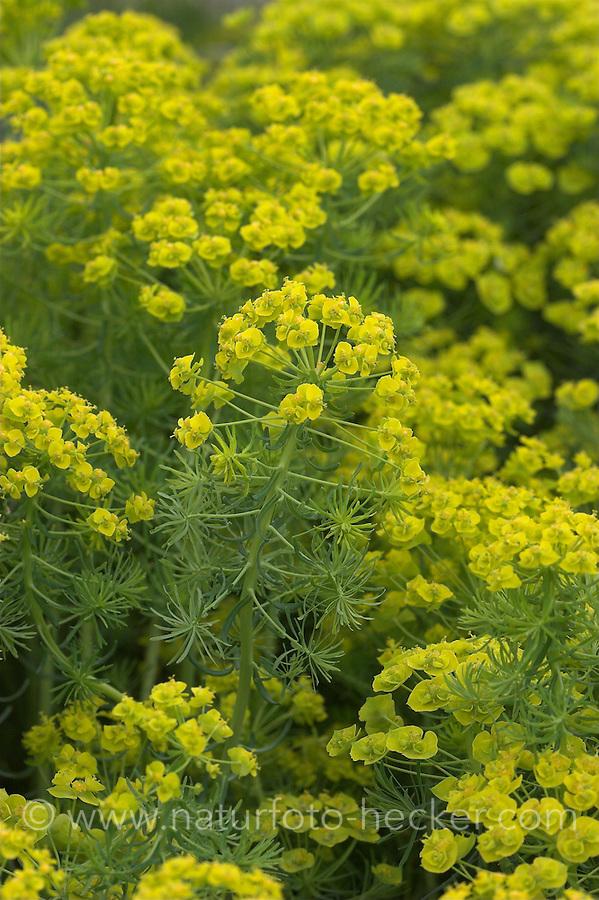 Zypressen-Wolfsmilch, Zypressenwolfsmilch, Wolfsmilch, Euphorbia cyparissias, Cypress Spurge