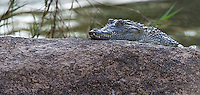 A juvenile crocodile photographed at a lodge outside Kruger National Park.