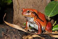 Südlicher Tomatenfrosch, Dyscophus guineti, Southern Tomato Frog, False Tomato Frog, exotischer Frosch aus Madagaskar