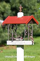 01539-01317 Rose-breasted Grosbeaks (Pheucticus ludovicianus) on bird feeder, Marion Co.  IL