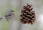 Songbird and pine cone