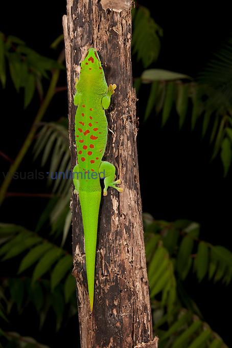Giant Day Gecko (Phelsuma madagascariensis), Madagascar. Captivity