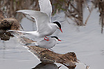 Arctic terns in mating ritual in Alaska, not far from Ancharage.