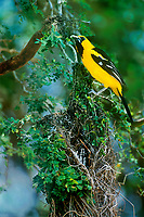 561820003 a wild altimara oriole icterus gularis perches on its hanging nest on an ebony tree on a private ranch in tamaulipas state mexico
