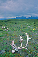 Caribou skulls with antlers left behind by local native subsistance hunters at Onion Portage in Kobuk Valley National Park, Alaska, AGPix_0712.
