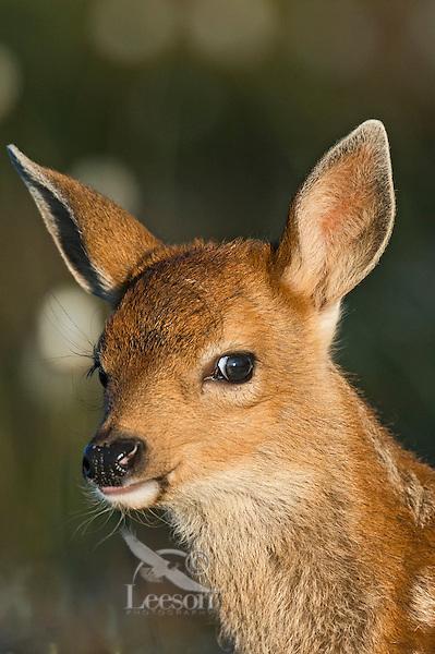 Columbian black-tailed deer (Odocoileus hemionus columbianus) fawn.  Pacific Northwest.  Summer.