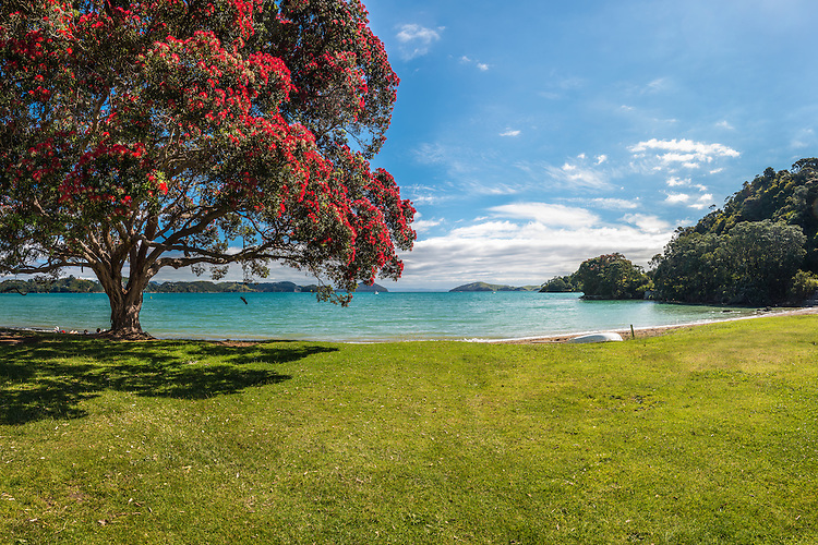 Pohutukawa tree, Long Bay Beach, Coromandel. Waikato, New Zealand - stock photo, canvas, fine art print
