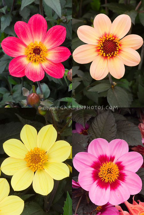 composite same plant different season  stock images  images, Natural flower