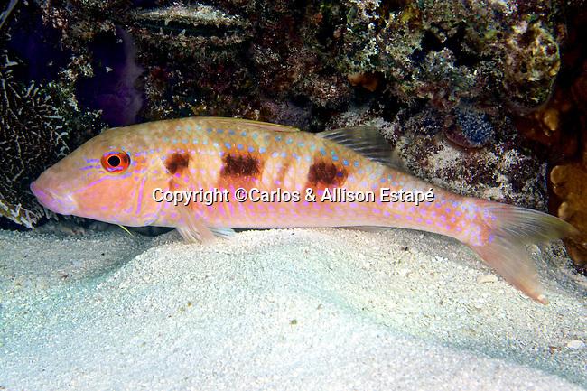Pseudupeneus maculatus, Spotted goatfish, FL Keys